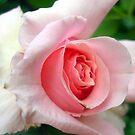 Rose II by KAVU
