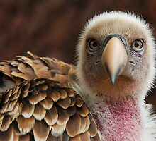 Griffin Vulture (Gyps fulvus)  by Steve  Liptrot