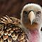 (Birds Category) - Group - Vulture - Vultures/Condors