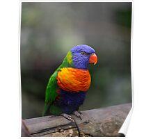 Lorikeet - Kuranda birdworld. Poster