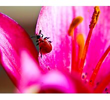 Lily Beetle Photographic Print