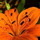 Orange Lily by Trevor Kersley