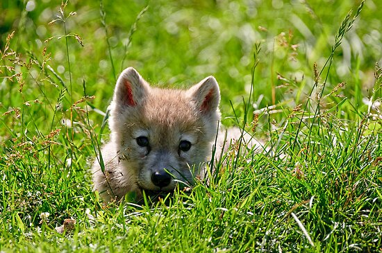 If they could only stay so young - Arctic Wolf Pup by Michael Cummings