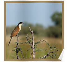 Coppery-tailed Coucal Poster