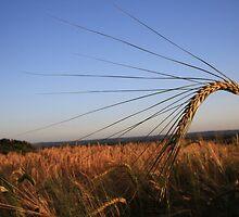 Barley Corn by Dave Godden