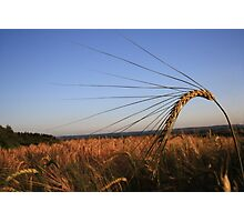Barley Corn Photographic Print
