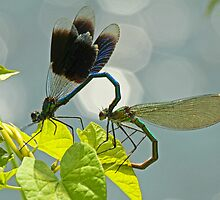 Mating Damselflies by Robert Abraham