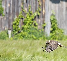 Female Northern Harrier  by DigitallyStill