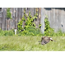 Female Northern Harrier  Photographic Print