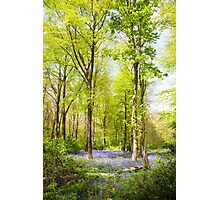 Bluebell Woods in Spring Photographic Print