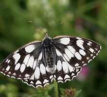 Marbled White by Neil Ludford