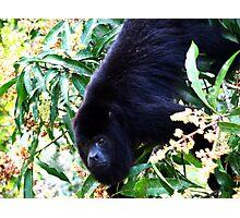 Alpha male Howler Monkey Photographic Print