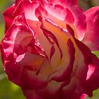 Reddish Rose by Harv Churchill