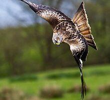 Red Kite - Near Miss by Nigel Johnson