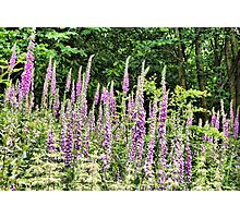 Wild Foxgloves  Photographic Print