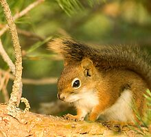 Squirrel by Amanda White