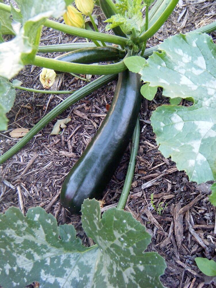 Zucchini by wyvernsrose