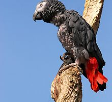 African Grey Parrot - (Psittacus erithacus) by Robert Taylor