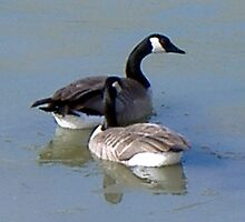 Mated For Life - Canada Geese by UnknownSpecies
