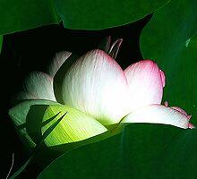First Lotus by Anne Smyth