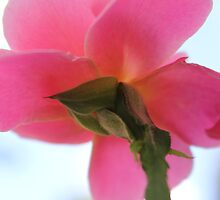 Back Side of a Pink Rose by DebbieCHayes