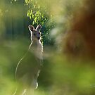 Adult Kangaroo by rjcolby