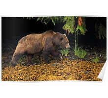 Coastal Grizzly Bear Poster