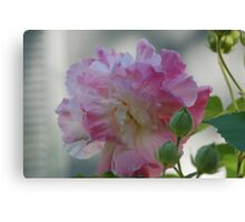 Confederate Rose and Buds Canvas Print