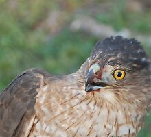 Red Tail Hawk by jcahlvin