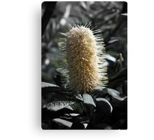 Banksia with Focal B&W Canvas Print