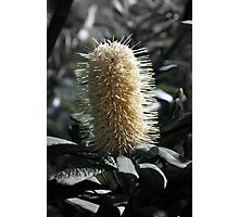 Banksia with Focal B&W Photographic Print