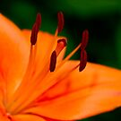 Orange Asiatic Lily 4 by Edward Myers