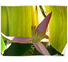 Banana Tree Bloom Poster
