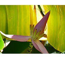 Banana Tree Bloom Photographic Print