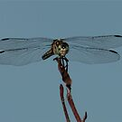 Dragon Fly by RockyWalley