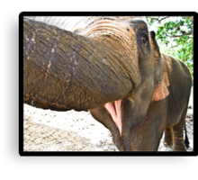 Smiling Elephant, Thailand Canvas Print