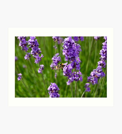 BEE AND LAVENDER. Art Print