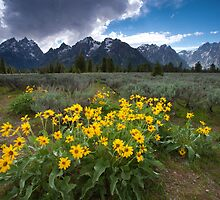 Sunflowers, Grand Teton National Park by Ryan Wright