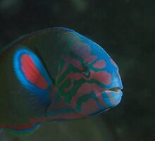 Halifax Moon Wrasse by Matt-Dowse