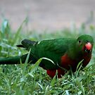 King Parrot Eating by jansimpressions
