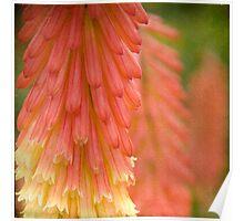 Red Hot Poker Flower Poster