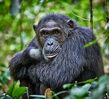 portrait of a chimpanzee by travel4pictures