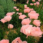 Peachy Poppies by MichelleRees
