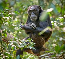 old chimpanzee on a tree by travel4pictures