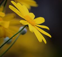 Yellow Bloom by Indrani Ghose