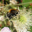 Hoverfly & Bramble 2 by sarnia2