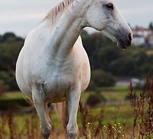 White Horse by hallphoto
