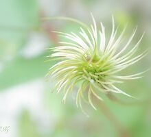 Natural pompon by aMOONy