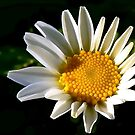 May a Daisy Brighten Your World by paintingsheep