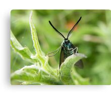 Feathered Ears (Forester Moth) Canvas Print